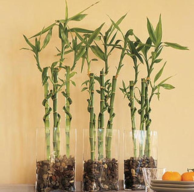 Выращивания бамбука 62
